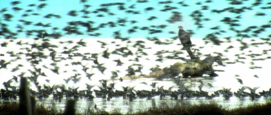 Eagle Among The Swarm